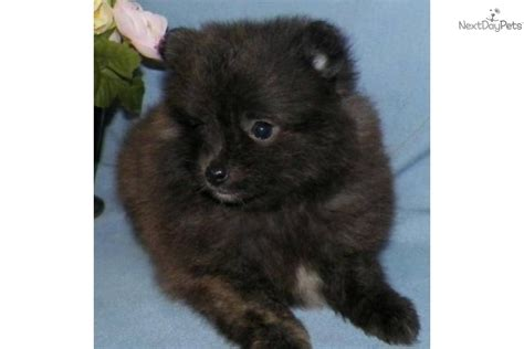 pomeranians for sale in syracuse ny pomeranian puppy for sale near syracuse new york 7c6256fd 6cc1