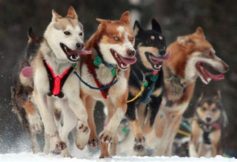 what temperature is cold for dogs cold weather breeds what to
