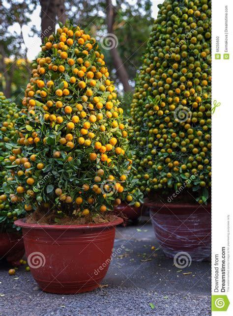 kumquat trees new year tet kumquat trees the symbols of lunar new year holidays