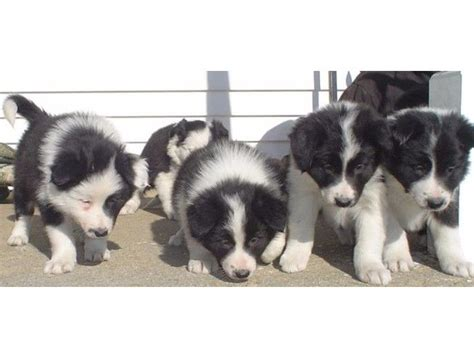 border collie puppies for sale in wisconsin border collie puppies animals clinton wisconsin announcement 62501