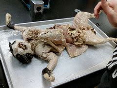 cat pregnancy how to tell if your cat dissected cat 2 ikkicsls flickr