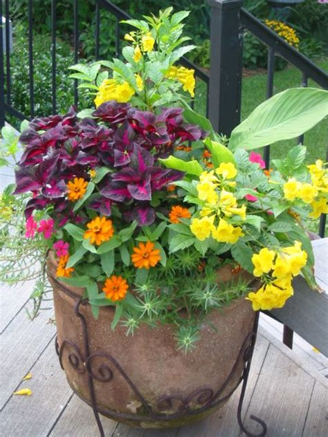 Plant Combination Ideas For Container Gardens Esperanza Tecoma Stans Perilla Magilla Profusion Zinnias Moss Container