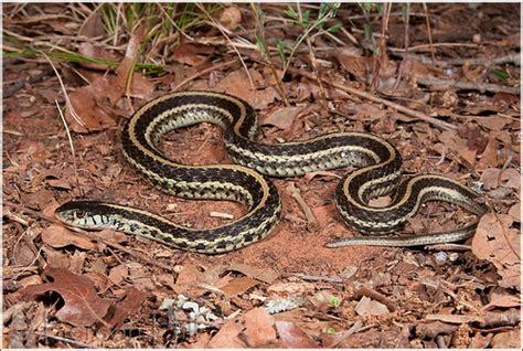 Garter Snake Oklahoma Garter Snake Thamnophis Sirtalis Annectans