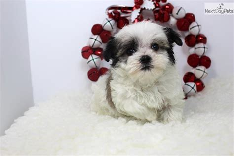 havamalt puppies for sale dollar havamalt puppy for sale near los angeles california 7f49516d 75c1