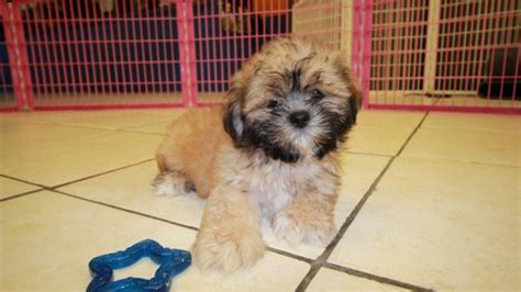 shih tzu puppies for sale in atlanta charming gold shih tzu puppies for sale in atlanta ga at puppies for sale