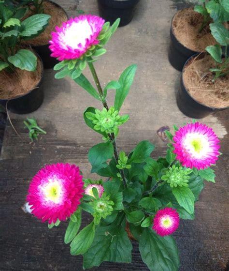 Tanaman Bunga Azalea Pink Tumpuk tanaman aster pink tumpuk bibitbunga