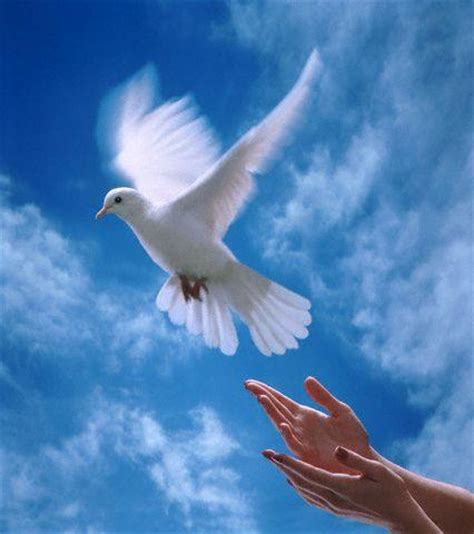 imagenes de palomas blancas en vuelo paloma blanca volandofotos y imagenes fotos de paloma