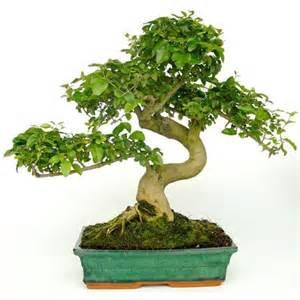 bonsa 239 d int 233 rieur tro 232 ne de chine 16 ans plantes et