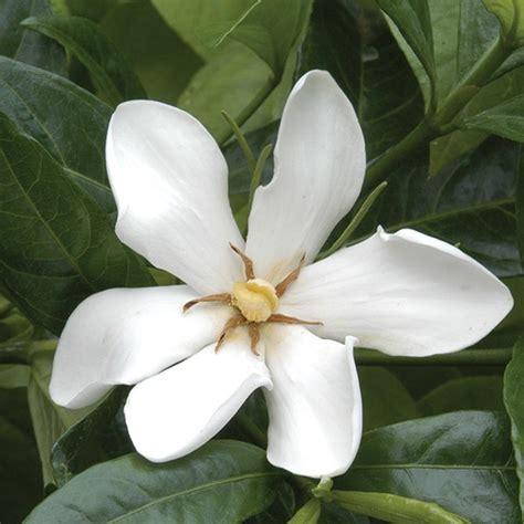 hardy gardenia gardenia species