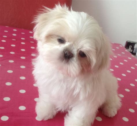 all white shih tzu puppies for sale tiny white blue eyed shihtzu all pups now sold sandown isle of wight pets4homes