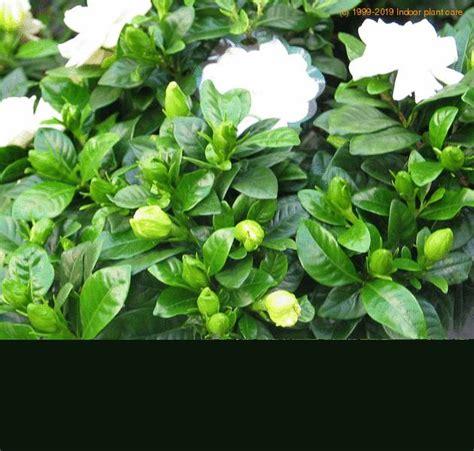 gardenia jasminoides gardenia grandiflora gardenia