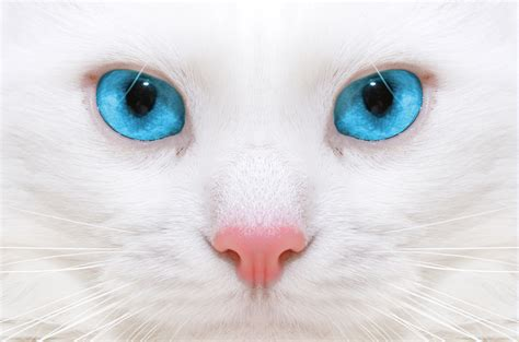 Bibit Eye Cat White white cat with blue up wallpapers and images wallpapers pictures photos