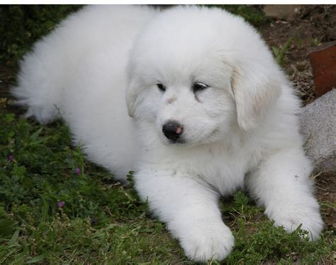 pictures of great pyrenees puppies white great pyrenees puppy picture png