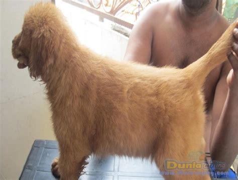 Anakan Arwana Murah dunia anjing jual anjing golden retriever anakan golden retriever murah namun berkualitas