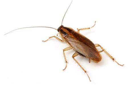 how to get rid of cockroaches in house ultimate guide on how to get rid of german roaches in the house get rid of roaches