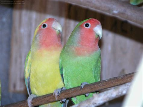 free peach faced pictures peach face lovebird photos