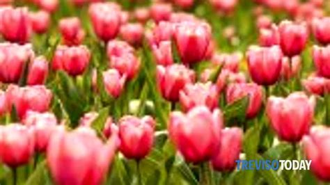 san fior di fior in san fior il nostro comune fiorito eventi a
