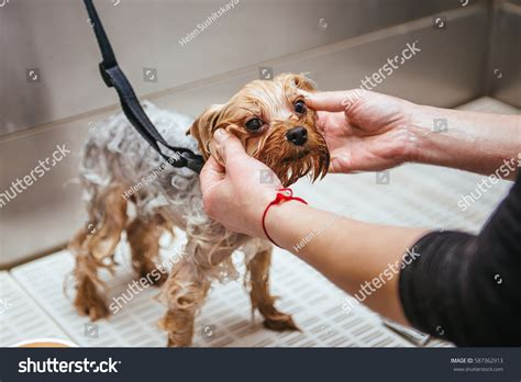 how to wash a yorkie washing terrier front haircut professional stock