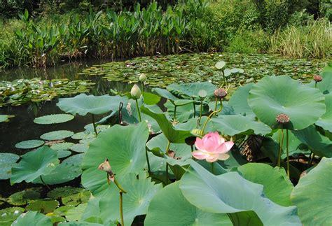 Lotus Flower Pond Chanticleer Pt 2 Of 3 171 Sorta Like Suburbia