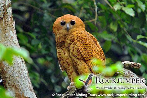 Central Republic Car Calendã 2018 Central Republic Rockjumper Birding Tours