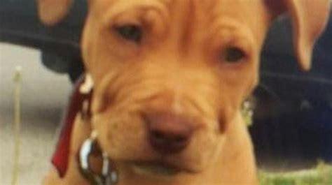 stolen puppy stolen puppy found charged with theft mississauga