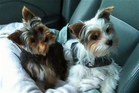 yorkie puppies for sale in jackson tn 80 best yorkies hairstyles for tucker images on yorkies animals and