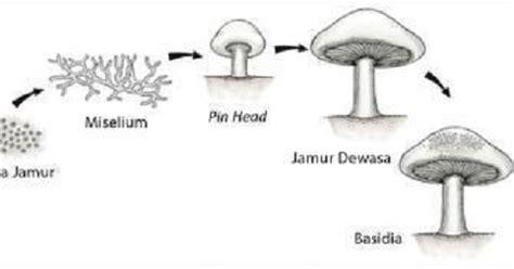 Pembibitan Pembudidayaan Analisis Usaha Jamur Tiram siklus hidup jamur tiram oemah jamur