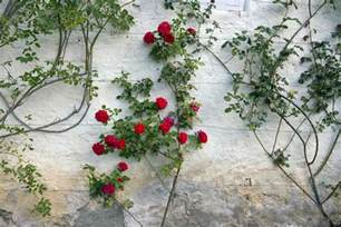 climbing roses trellis how to grow a climbing on a trellis
