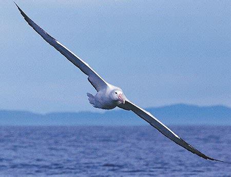 albatross animal wildlife