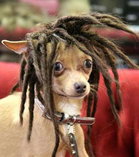 dogs with dreads 10 and hilarious wigs on cats