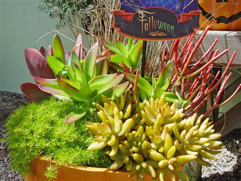 succulents that don t need light black gold late season succulents indoors or out