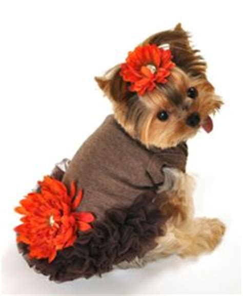 yorkies in clothes yorkies on yorkie yorkies and pet clothes