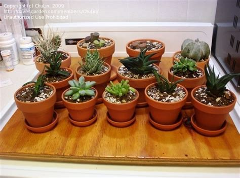 cacti and succulents how often do you water succulents 1 by chulin