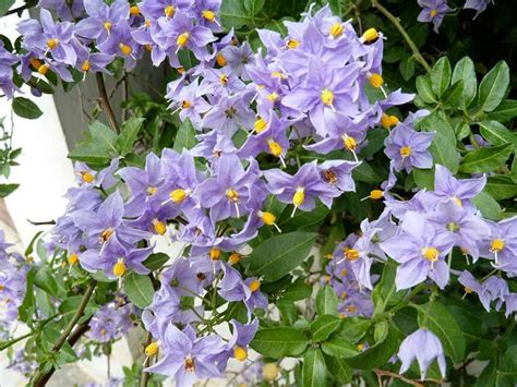 pianta da fiore solanum da fiore solanum rantonettii s bonariense