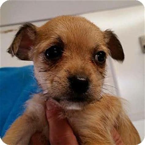 shih tzu rescue island staten island ny shih tzu chihuahua mix meet a puppy for adoption