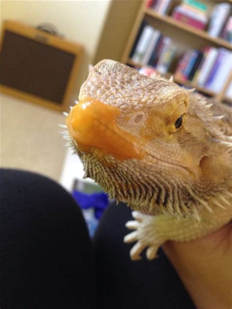 7 Things Not To Feed Your Bearded by 140 Best Images About Beardies How To Your
