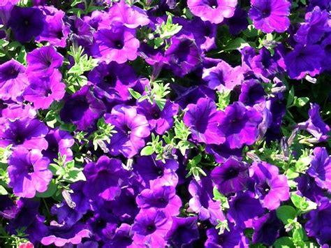 fiore petunia petunia petunia piante annuali come coltivare le petunie