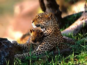 Jaguar Panther Animals Best Pictures Gallery Jaguar Panthera Pictures