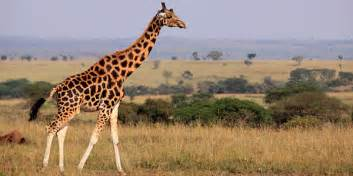 la girafe blabla du haut livradois