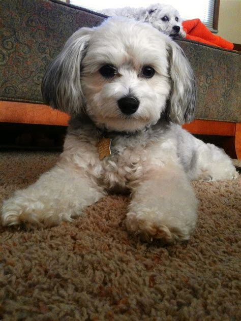 maltese in chinese 62 best images about woef on pinterest poodles chinese