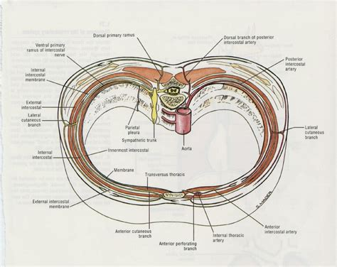 chest anatomy diagram chest wall muscles anatomy human anatomy diagram