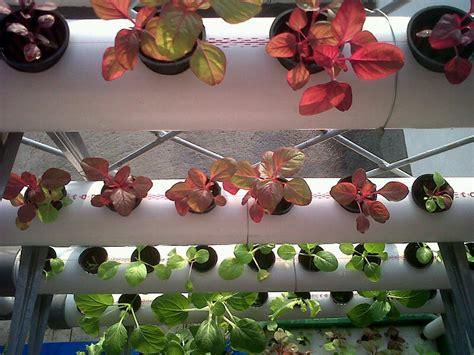 menanam hidroponik rumahan petani rumahan foto hasil tanaman para pembeli ayo