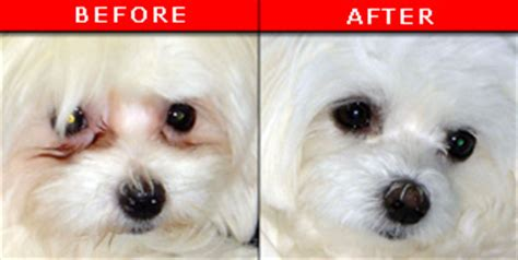 how to get rid of tear stains on dogs pet purity purifeye eliminate tear stains