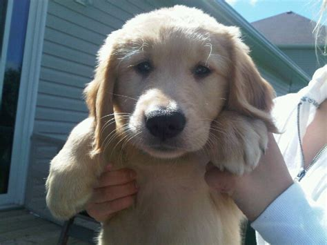 newfoundland golden retriever golden retriever newfoundland puppy for sale 03 puppies for sale dogs for sale in