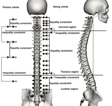 sections of spine in human real time joint coupling of the spine for inverse