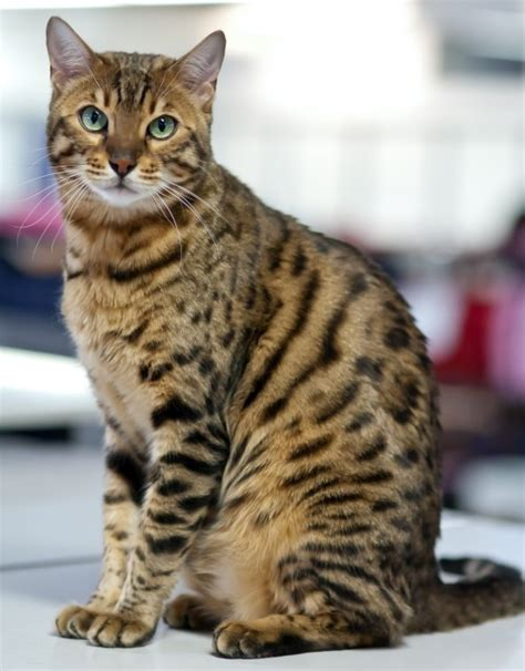 bengal house cat bengal cat breed profile metaphorical platypus