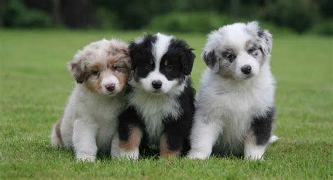australian colors australian shepherd colors did you all these colors