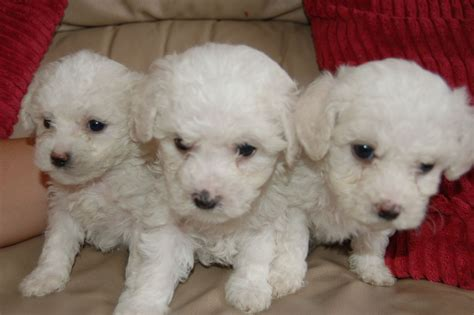 bichon puppies for sale bichon frise puppies for sale st helens merseyside pets4homes