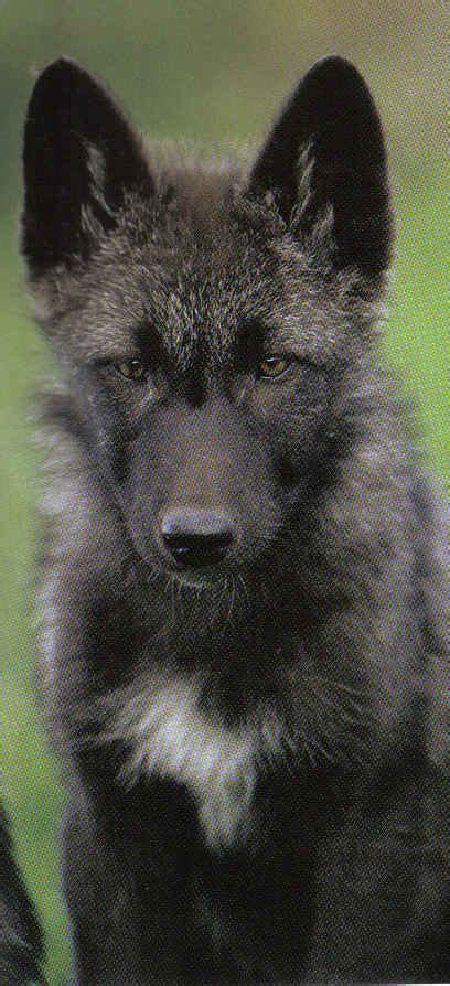 Black Wolf Natural History Black Wolf American