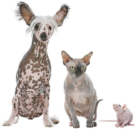 rat dogs the world of hairless dogs